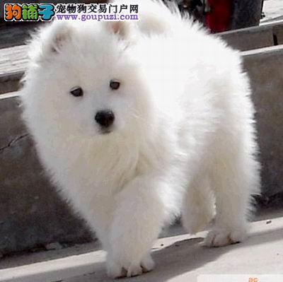 出售微笑天使萨摩耶幼犬,纯种健康可爱