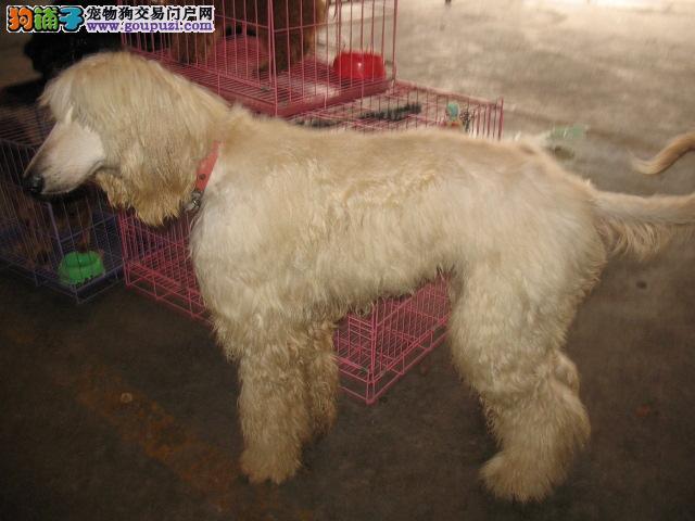 权威机构认证犬舍 专业培育阿富汗猎犬幼犬一分价钱一分货1