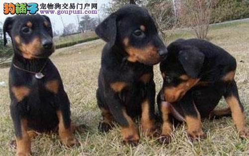 狗场繁殖纯种杜宾犬 健康质保 多只可选