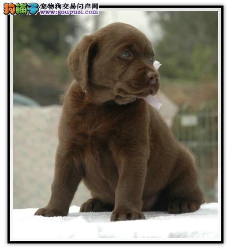 赛级品质深圳拉布拉多犬特价出售 正规狗场繁殖有证书