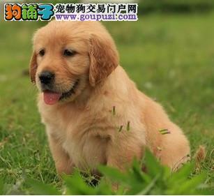 高端金毛幼犬,品质极佳品相超好,签署合同质保