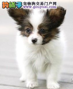石家庄繁殖基地出售多种颜色的蝴蝶犬终身售后送货