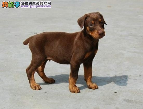 长沙顶级杜宾幼犬出售 CKU认证血统健康质保