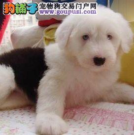 福州古代牧羊犬白头通背双蓝眼特价出售 赛级古牧幼犬