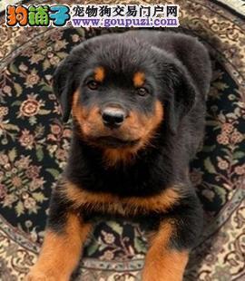 冬季饲养罗威纳犬你应该掌握的饲养原则5