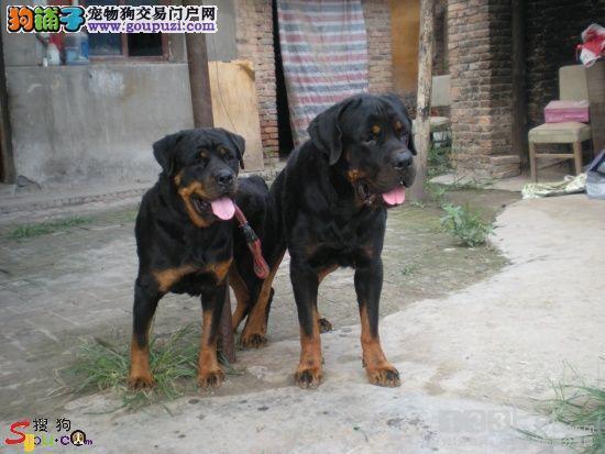 看家护院好帮手 纯种健康守护犬罗威那出售 品质保证3