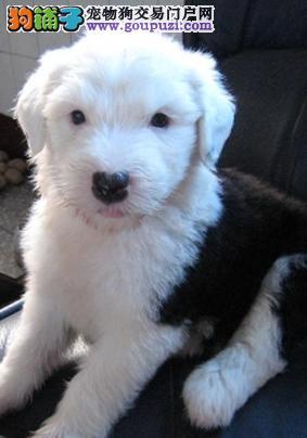 纯种花头和白头古牧公母幼犬
