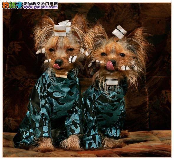 南京出售超小体约克夏幼犬可上门挑选 超萌可爱约克夏