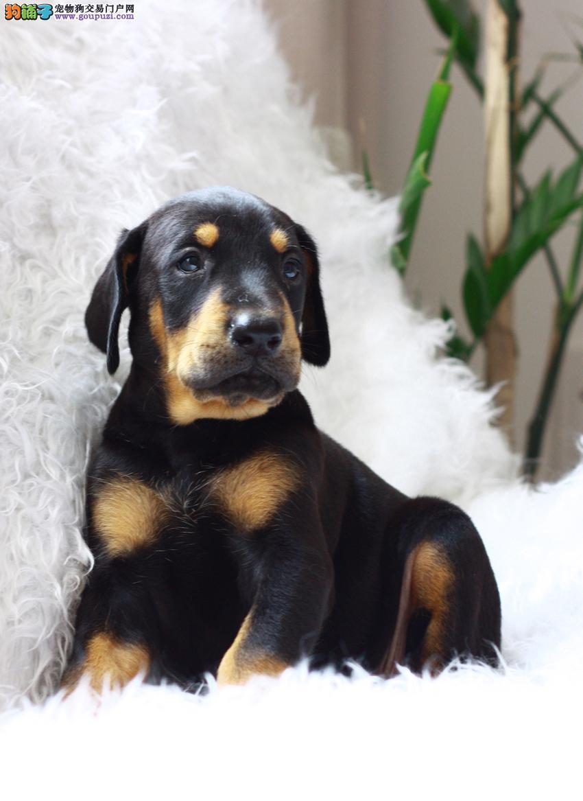 南昌高品质杜宾犬带血统出售终身质保质量三包签协议