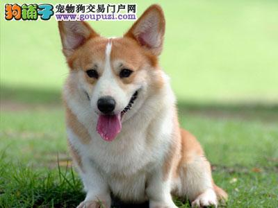 上海出售纯种柯基幼犬威尔士柯基犬 健康保证信誉保证