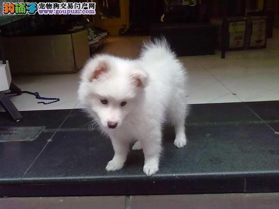 纯种健康日本银狐犬 尖嘴犬 北京可上门质保3年