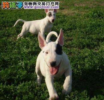 昌江弹头牛头梗幼犬 高品质牛头梗出售包健康纯血统
