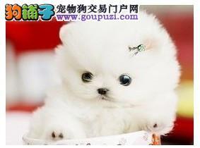 重庆至尊茶杯微小泰迪世家出售各色幼犬种公对外配种1
