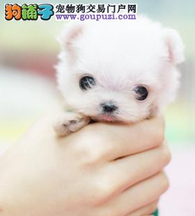 银川售纯种健康茶杯黑灰白色泰迪熊茶杯犬毛量大体型小