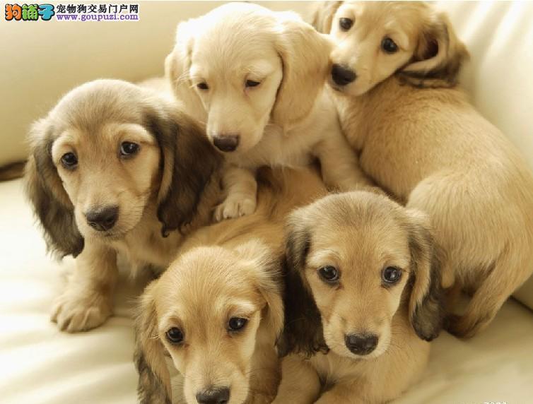 100%纯种健康的武汉腊肠犬出售欢迎爱狗人士上门选购2