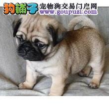 赛级巴哥犬哪里有卖 CKU认证血统 疫苗齐全 包健康纯种