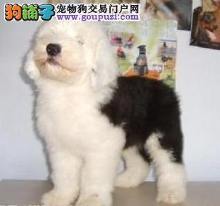 家养纯种全白头古代牧羊犬出售
