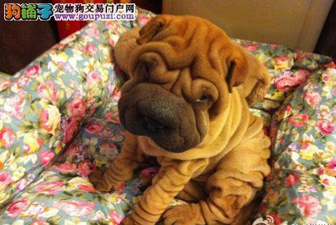 出售纯种沙皮幼犬 健康保证 信誉保证 诚信保证