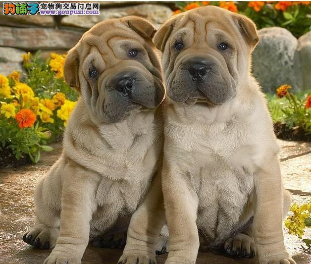 重庆养殖基地直销皱皮憨厚沙皮犬幼犬 超可爱沙皮犬