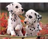 活泼可爱大型犬斑点犬出售适合做家庭犬