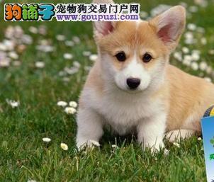 广州柯基犬 广州哪里有卖柯基犬买卖嘉琪犬舍哪里有卖纯种