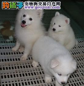 银狐幼崽 靓丽迷人 纯种银狐宝宝 健康保证