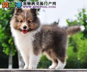 广州正规狗场繁殖纯种喜乐蒂犬2