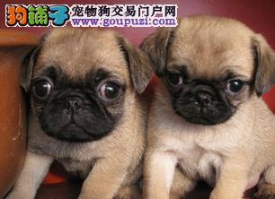 出售出售纯种小体巴哥幼犬. 现2个月3