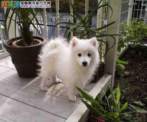 上海日本尖嘴银狐幼犬温和聪明好机灵保证纯种健康