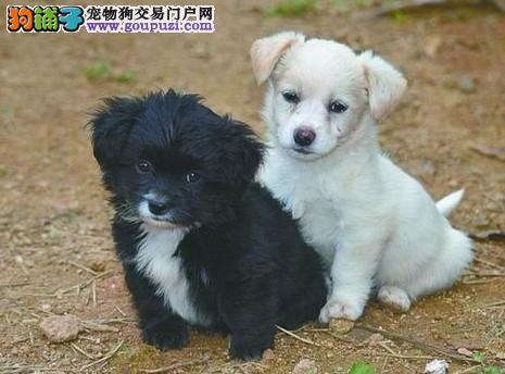 """一母同胞的两只毛茸茸的""""绣球""""狗,大家喜欢吗"""