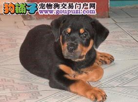 罗威纳幼犬热销中、一宠一证视频挑选、寻找它的主人