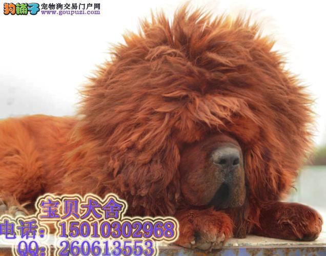 北京/世界名獒 最大的藏獒藏獒王 藏獒 北京藏獒园