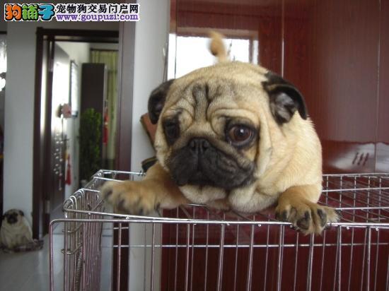国际注册犬舍 出售极品赛级巴哥犬幼犬保证品质完美售后