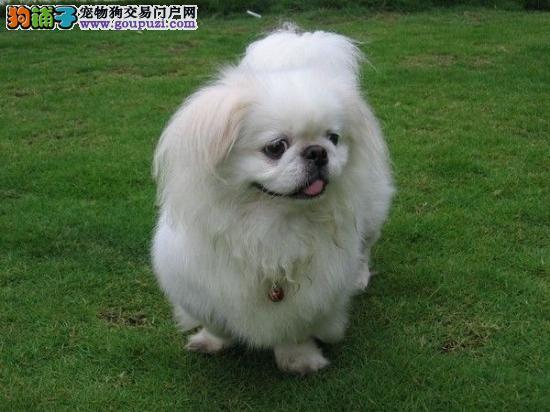 赛级京巴宝宝 CKU认证犬舍 质保全国送货