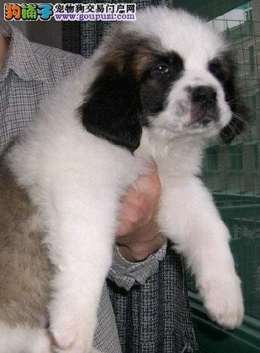 出售高大威猛圣伯纳幼犬 纯种健康 品相优良2