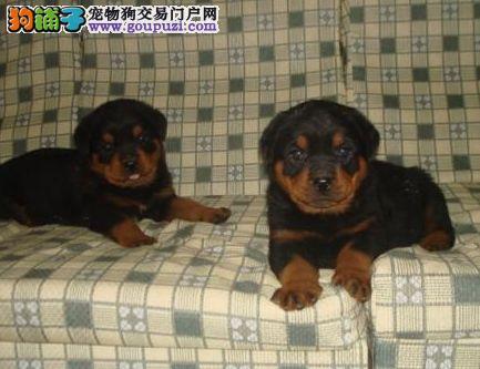 精品防暴护卫犬罗威纳幼犬/终身保障