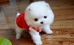 茶杯犬,超小体 泰迪 灰色红色白色黑色