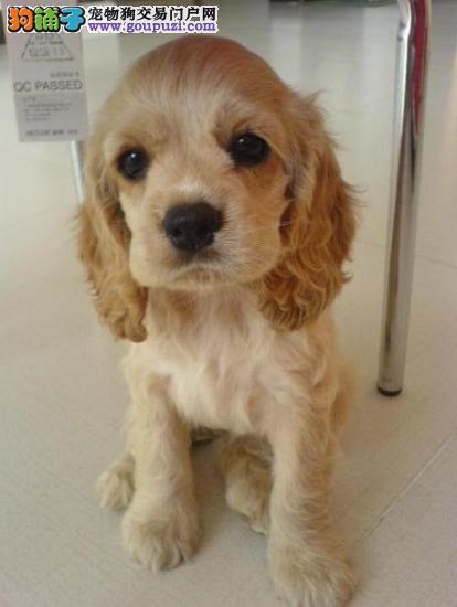 基地售顶级可卡幼犬签订售出协议免费送货