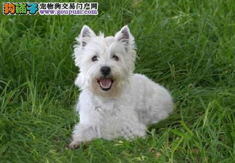 超低价出售西高地白梗幼犬