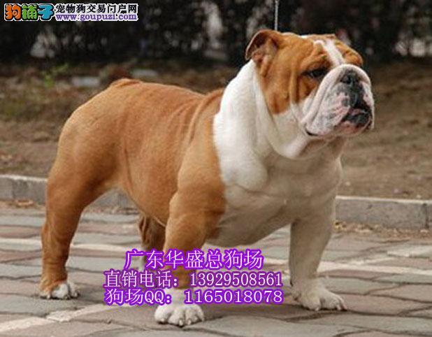 广州哪里有纯种斗牛犬买 斗牛多少钱一只