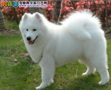 《萨摩专售区》微笑天使可爱萨摩耶幼犬出售萨摩耶