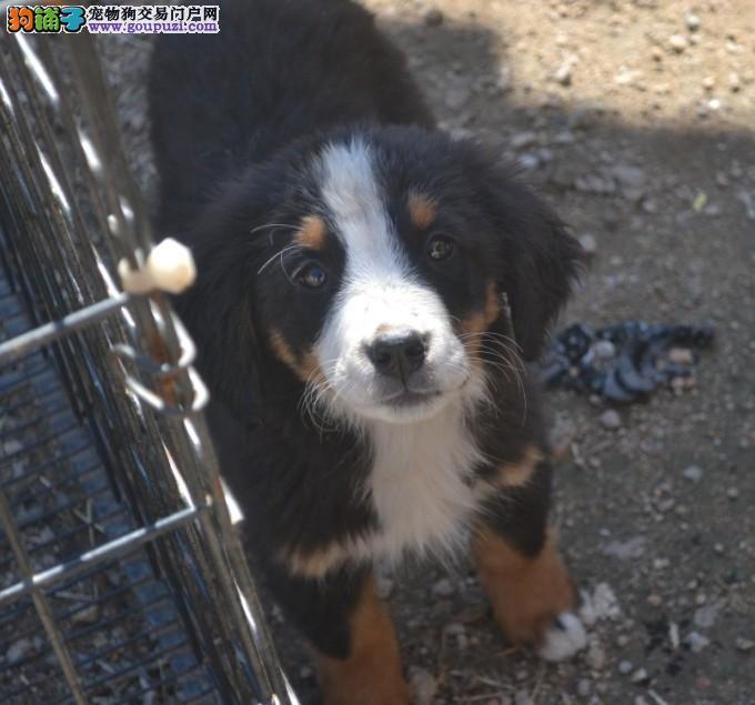 犬舍出售纯种健康伯恩山幼犬宝宝