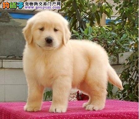 极品优秀金毛犬低价出售 合肥周边可上门选购价格优惠