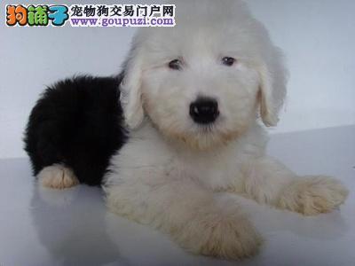 形象佳,气质ok的古牧幼犬,纯白头,纯血统1