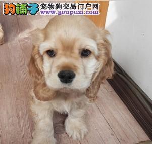 纯种狗狗繁殖的可卡宝宝出售
