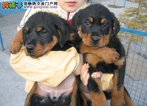 纯种罗威纳犬幼犬宝宝出售/北京地区免费送货上门图片