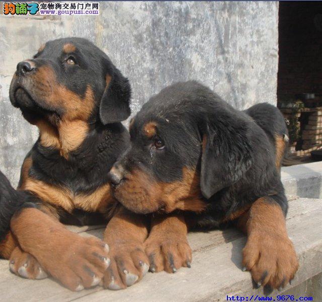 优化训练如何让罗威纳犬训练成功