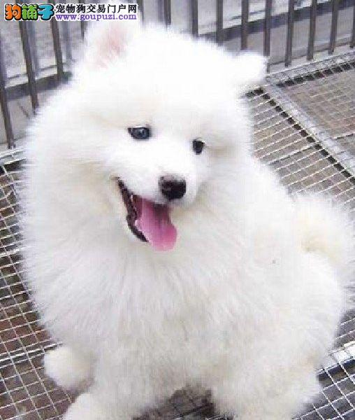丽水出售澳版微笑天使宝宝纯种健康赛级萨摩耶幼犬低价