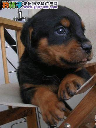 梧州自家繁殖纯罗威纳幼犬出售勇猛护主优秀的护卫犬