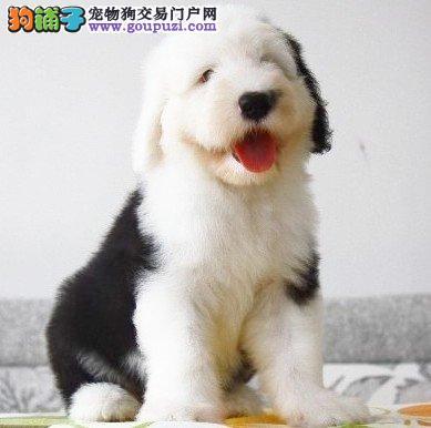 热销古代牧羊犬幼犬 纯度好100%健康 寻找它的主人